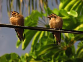 Swallow Fledglings Stock 1 by meung12