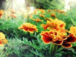 Tagetes by PMinelly