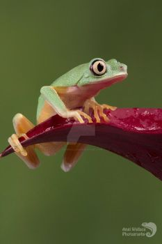 Lemur leaf frog by AngiWallace