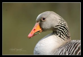 Portrait of geese by declaudi