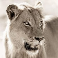 Lion in Sepia by MrStickman