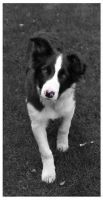 Border Collie: Gus by dogs