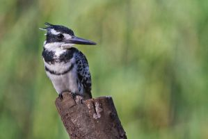 Pied Kingfisher by CarlSutherland
