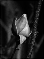 Black n White Rose by Samcatt