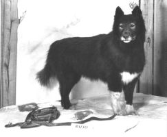 The Real Balto by Darkwolf15