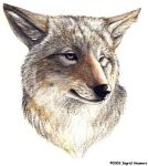 Coyote by Illahie