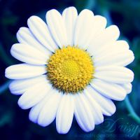 daisy by illusionality