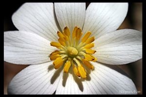 Bloodroot Wildflower by UffdaGreg