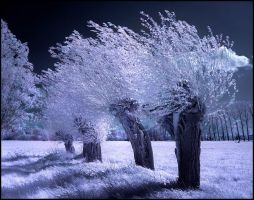 Willow Trees infrared... by MichiLauke
