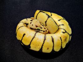 Bumblebee Ball Python by xSynisterx