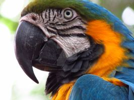 Blue and Yellow Macaw by Choleric-Codebreaker