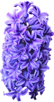 Purple Hyacinth PNG by Thy-Darkest-Hour
