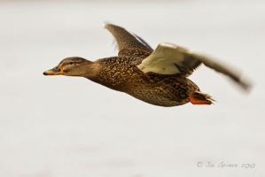 Female Mallard by q-118