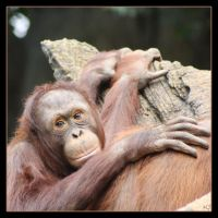 Little Orangutang by Globaludodesign