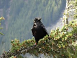 Common Raven IV by Track-Maidens