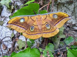 Antheraea mylitta, female - 3 by J-Y-M