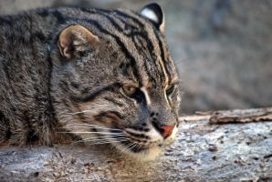 Fishing Cat in Profile by robbobert