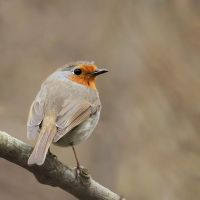 European Robin by wolf-minori