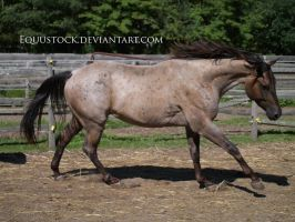 Blue roan canter by equustock