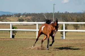 GE arabpinto trotcanter neck arc front on tail up by Chunga-Stock