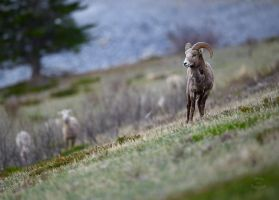 Young Ram - Spring Evening by JestePhotography