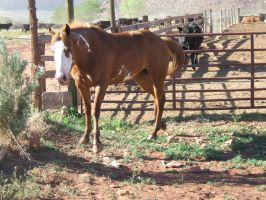 Sorrel Paint Mare 39 .:Stock:. by WesternStock