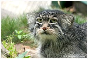 Pissed off Pallas's cat by swiftach