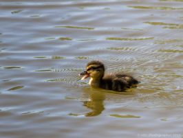 Duckling Alert by ARC-Photographic