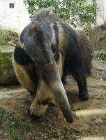 Anteater takes a bow by jaffa-tamarin