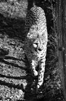 Cheetah Black and White by Shell-Bee2007