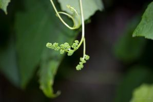 Sour Grapes by AngelaLeonetti
