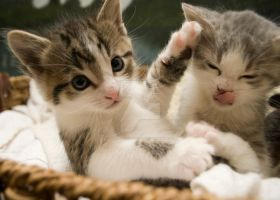 Kittens playing by SLHudgensPhoto