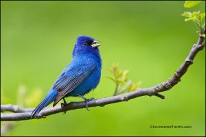 Indigo Bunting singing by gregster09