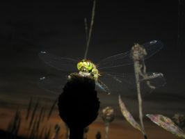 Dragonfly :fullview please: by DeingeL