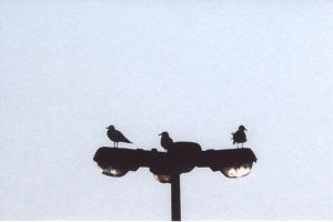 Gulls on a Light No.2 by TroikAnia