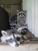 Young Raccoons 35 by Windthin