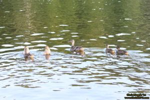 Army of quackers, retreating by ChrisInVT