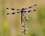 Lokis Dragonfly by Wilmsy