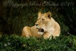 Lion Repose by SteelCowboy