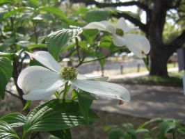 white dogwood 02 by CotyStock