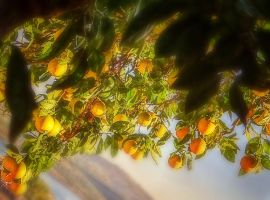 Oranges by BL00DYSunflowers