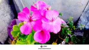Pink  Flowers 2012 by gfx-shady