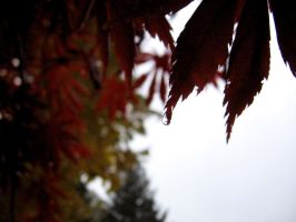 japanese maple weeping by cha-ohs