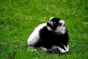 Bright eyed lemur by StormyyWolf