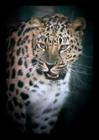Leopard V by Lilia73