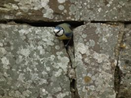 bluetit at the fernery 2 by harrietbaxter