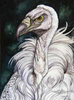 Griffon Vulture 3 by HouseofChabrier