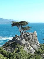 the lone cypress by amber-kat
