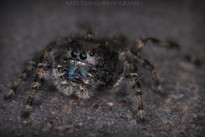 Jumping Spider 2 by mattTIDBALL