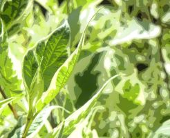 Green and white leaves by piepwns